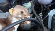 Τα κουνάβια στοιχίζουν ακριβά στους αυτοκινητιστές και στις ασφαλιστικές εταιρίες αυτοκινήτου στην Γερμανία.(βίντεο)